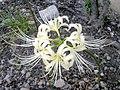 Lycoris radiata white01.jpg