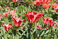 Lyon - Jardins suspendus de Perrache - Tulipes-001.JPG