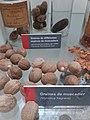 Lyon 6e - Parc de la Tête d'Or, expo Pierre Poivre, graines de muscadier.jpg