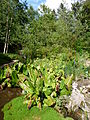 Lysichiton americanus-Jardin d'altitude du Haut-Chitelet (2).JPG