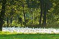 MOs810, WG 2014 56 Oledry nowotomyskie (geese, Stary Tomysl).JPG