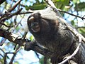 Macaco Prego - Alagoas.JPG
