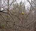 Maclura pomifera (Osage orange) (Francis Road, northeastern flanks of Flint Ridge, Ohio, USA) 3 (23541313140).jpg