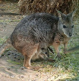 Macropus eugenii with calf.jpg