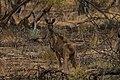 Macropus fuliginosus (32482158132).jpg