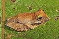 Madagascar bright-eyed frog (Boophis madagascariensis) juvenile Ranomafana.jpg