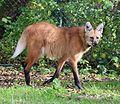 Maehnenwolf Chrysocyon brachyurus Tierpark Hellabrunn-17.jpg