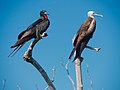 Magnificent Frigatebirds. He and she (6980020384).jpg