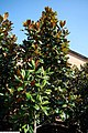 Magnolia grandiflora DD Blanchard 2zz.jpg