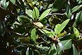 Magnolia grandiflora au Plateau des poètes006.JPG