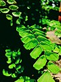 Maidenhair fern.sz.jpg