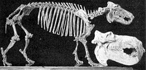 Hippopotamus - Choeropsis madagascariensis skeleton with a modern hippopotamus skull.