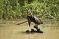 Male Australasian Darter.jpg
