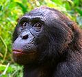 Male Bonobo Lola ya Bonobo 2008 (cropped).jpg