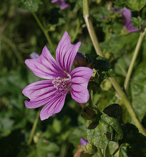 <i>Malva</i> genus of plants
