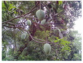 Mango2.png