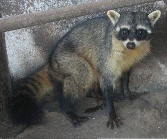 Procyon (genus) - Crab-eating raccoon (P. cancrivorus)