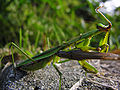 Mantis catches grasshopper DSCN9802 a.jpg