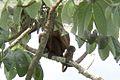 Mantled Howler Monkeys- Panama - - 2012-05-26at23-01-19.jpg