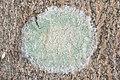 Mapledust Lichen (Lecanora thysanophora) - Gatineau Park 02.jpg