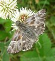 Marbled Skipper. ( not sure which sp. yet) - Flickr - gailhampshire.jpg