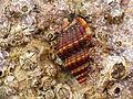 Marine Snail (15786950853).jpg
