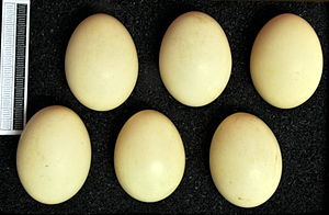 Marbled duck - Eggs, Collection Museum Wiesbaden