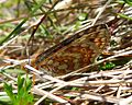 Marsh Fritillary. Euphydryas aurinia form scotica - Flickr - gailhampshire (2).jpg