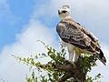 Martial eagle (Polemaetus bellicosus) juvenile (13816942703).jpg