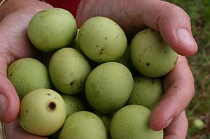 Sclerocarya birrea - Green marula fruits