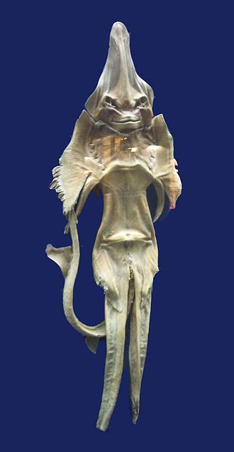 Mermaid - A dried skate, or Jenny Haniver.  Mashhad Museum, Iran.