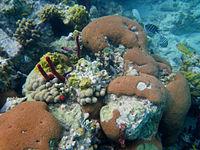 Massive Starlet Coral (Siderastrea siderea).jpg