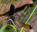 Mating Damselflies Calopteryx Haemorrhoidalis.JPG
