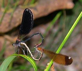 Bộ sưu tập Côn trùng - Page 3 280px-Mating_Damselflies_Calopteryx_Haemorrhoidalis