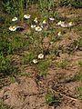 Matricaria chamomilla20140712 026.jpg