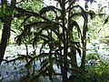 McKenzie River, moss on tree.jpg