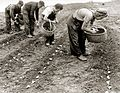 Men and women planting potatoes (circa 1950).jpg