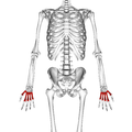 Metacarpal bones 01 palmer view.png