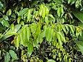 Meteoromyrtus wynaadensis 33.JPG