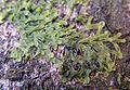 Metzgeria furcata 2005.04.02 15.29.56-p4020023.jpg