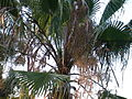 Mexican fan palm (3128198236).jpg
