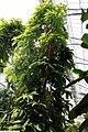 Michelia champaca 17zz.jpg