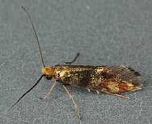 Micropterix tunbergella, Loggerheads, North Wales, May 2011 (20747081462).jpg