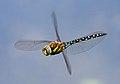 Migrant Hawker Dragonfly 7 (6082844033).jpg