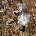 Milkweed (31009261041).jpg