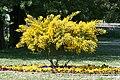 Mimosa nei pressi dell'Abbazia di Pomposa - panoramio.jpg
