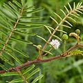 Mimosa pudica-IMG 0741.JPG
