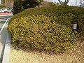 Miryang rhododendron japonicum.jpg