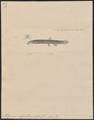 Misgurnus anguillicaudatus - 1856-1859 - Print - Iconographia Zoologica - Special Collections University of Amsterdam - UBA01 IZ15000172.tif