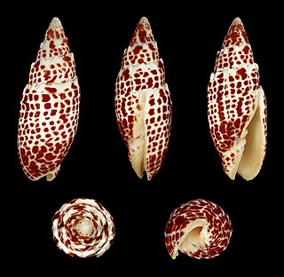 <i>Mitra papalis</i> species of mollusc